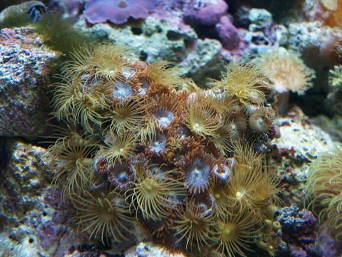 corals inverts - undescribed zoanthid - colony polyp, yellow stocking in 90 gallons tank - 3 years