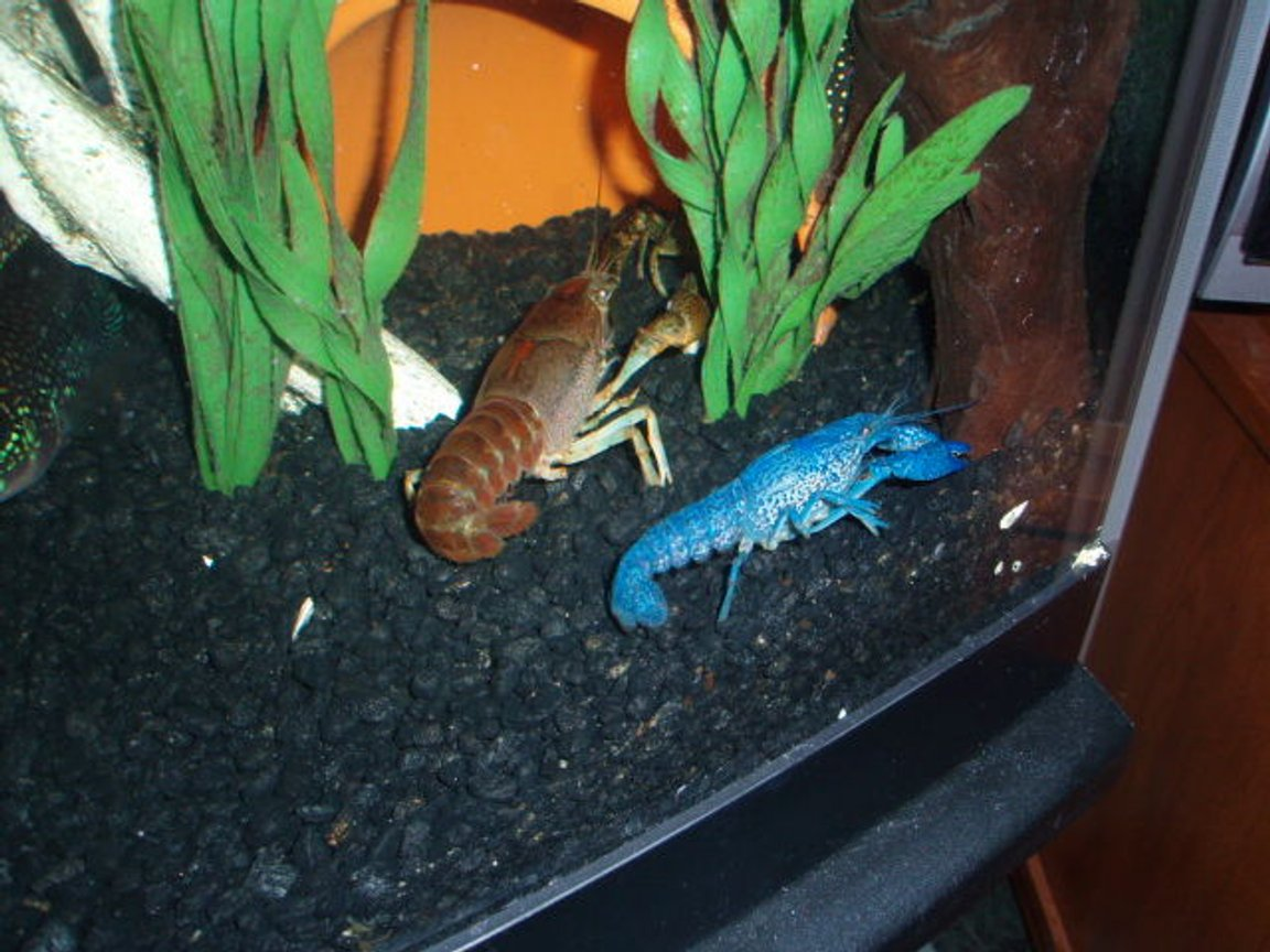 corals inverts - procambarus sp. - hammers cobalt blue lobster stocking in 72 gallons tank - Blue crayfish and Big Boy
