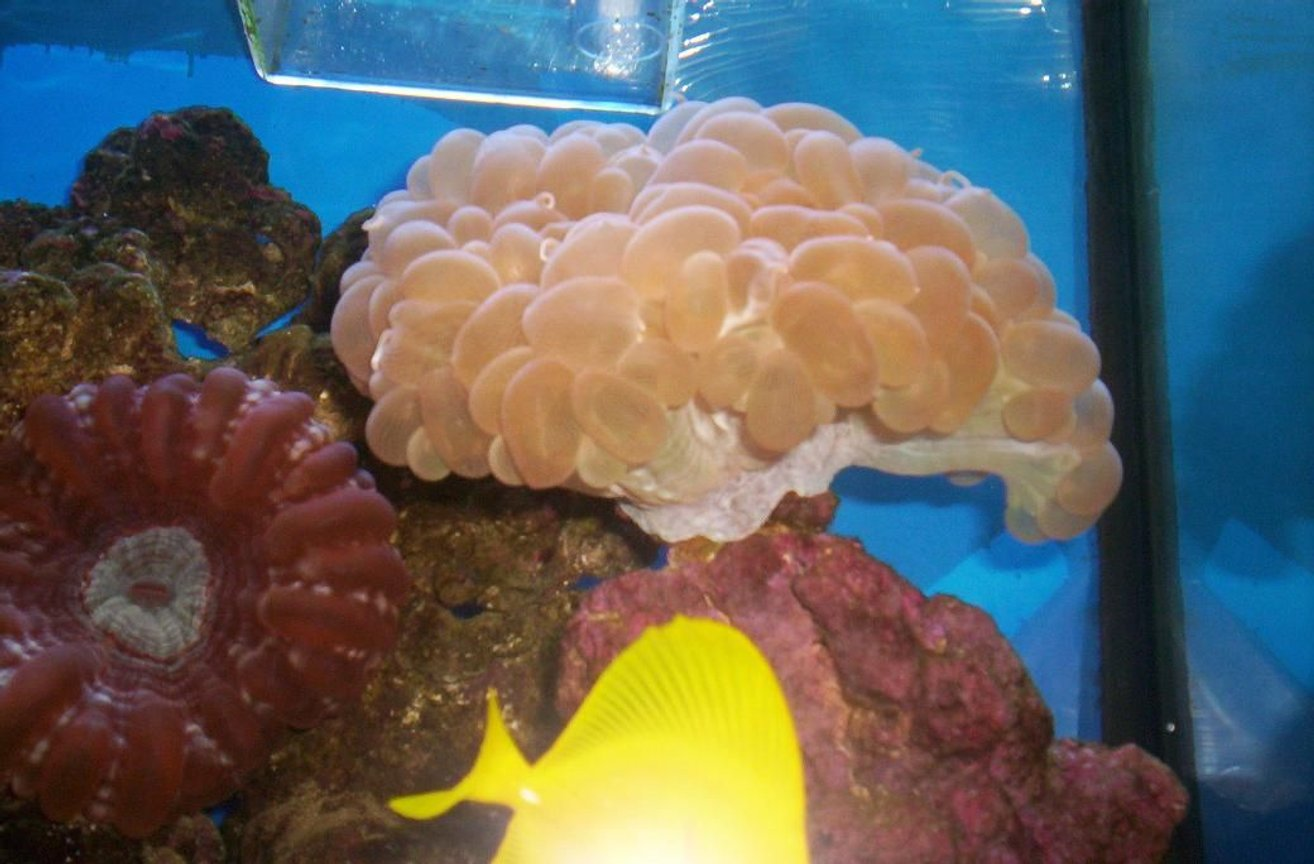 corals inverts - plerogyra sinuosa - bubble coral stocking in 55 gallons tank - 2008