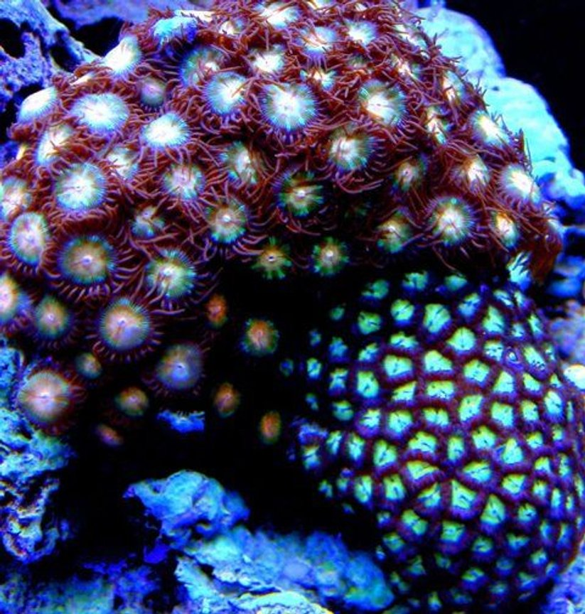 corals inverts - zoanthus sp. - starburst zoanthids stocking in 46 gallons tank - Green and Pink Zoas