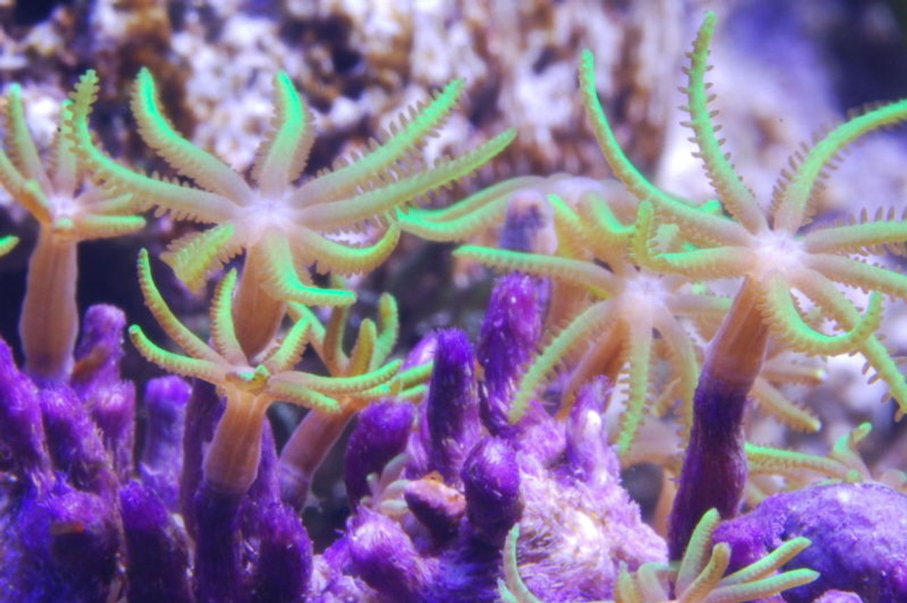 corals inverts - briareum sp. - starburst polyp stocking in 125 gallons tank - Green Star Polyps in 125 reef