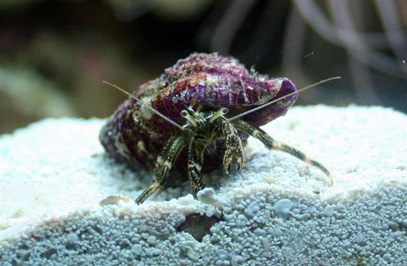corals inverts - clibanarius sp. - dwarf yellow tip hermit crab stocking in 24 gallons tank - Hermit Crab with an obscenely purple shell