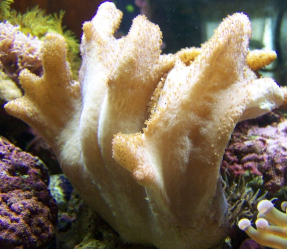 corals inverts - scleronephthya sp. - flower tree coral, colony stocking in 46 gallons tank -