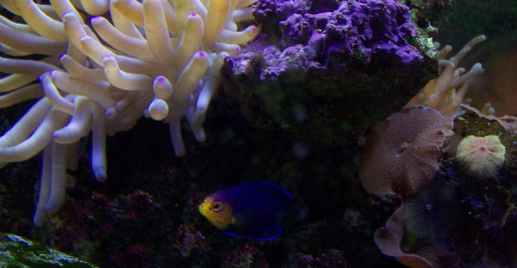 corals inverts - condylactis sp. - haitian reef anemone stocking in 46 gallons tank -