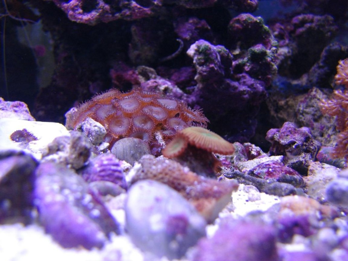 corals inverts - zoanthus sp. - spiderman zoos stocking in 75 gallons tank - Zoos