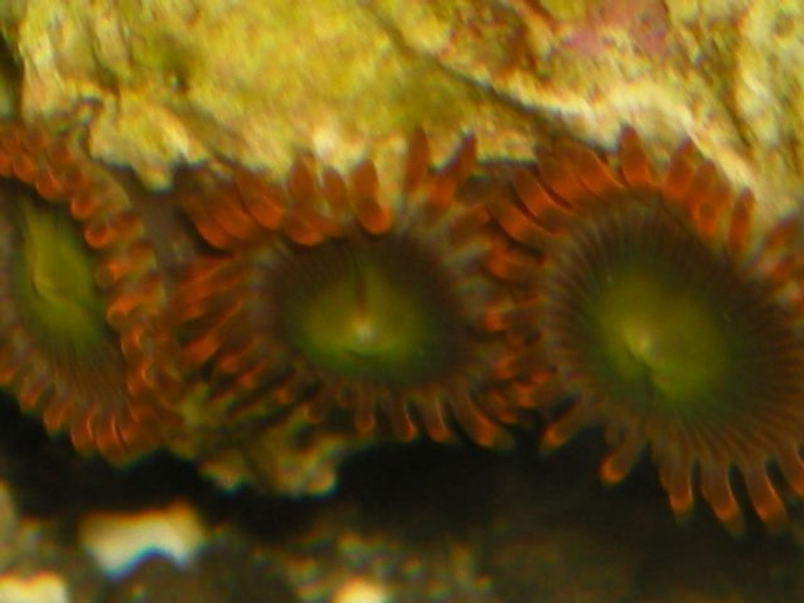 corals inverts - zoanthus sp. - flame polyps stocking in 125 gallons tank - zoos
