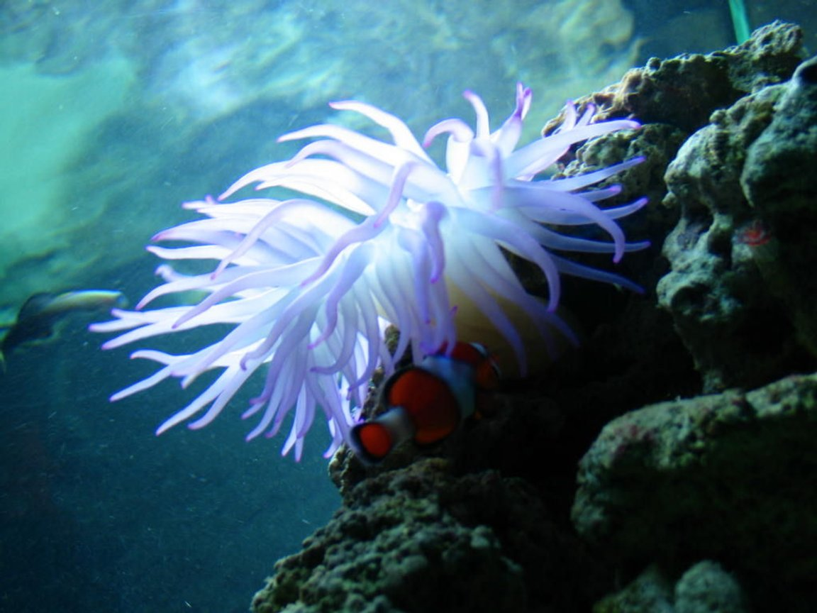 corals inverts - condylactis gigantea - condy anemone stocking in 125 gallons tank - my anenome