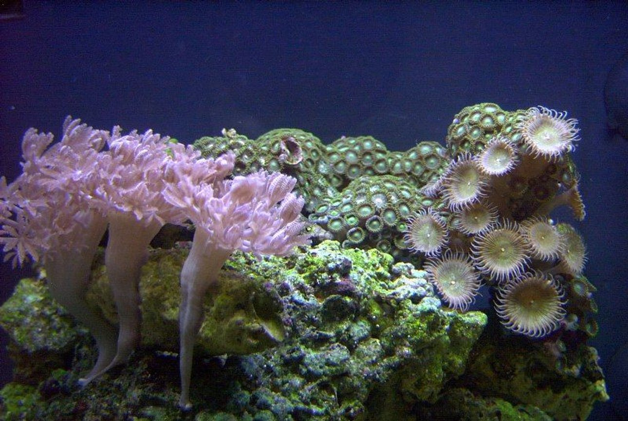 corals inverts - xenia sp. - white pom pom xenia, red sea stocking in 14 gallons tank - Xenia's and other zoo's