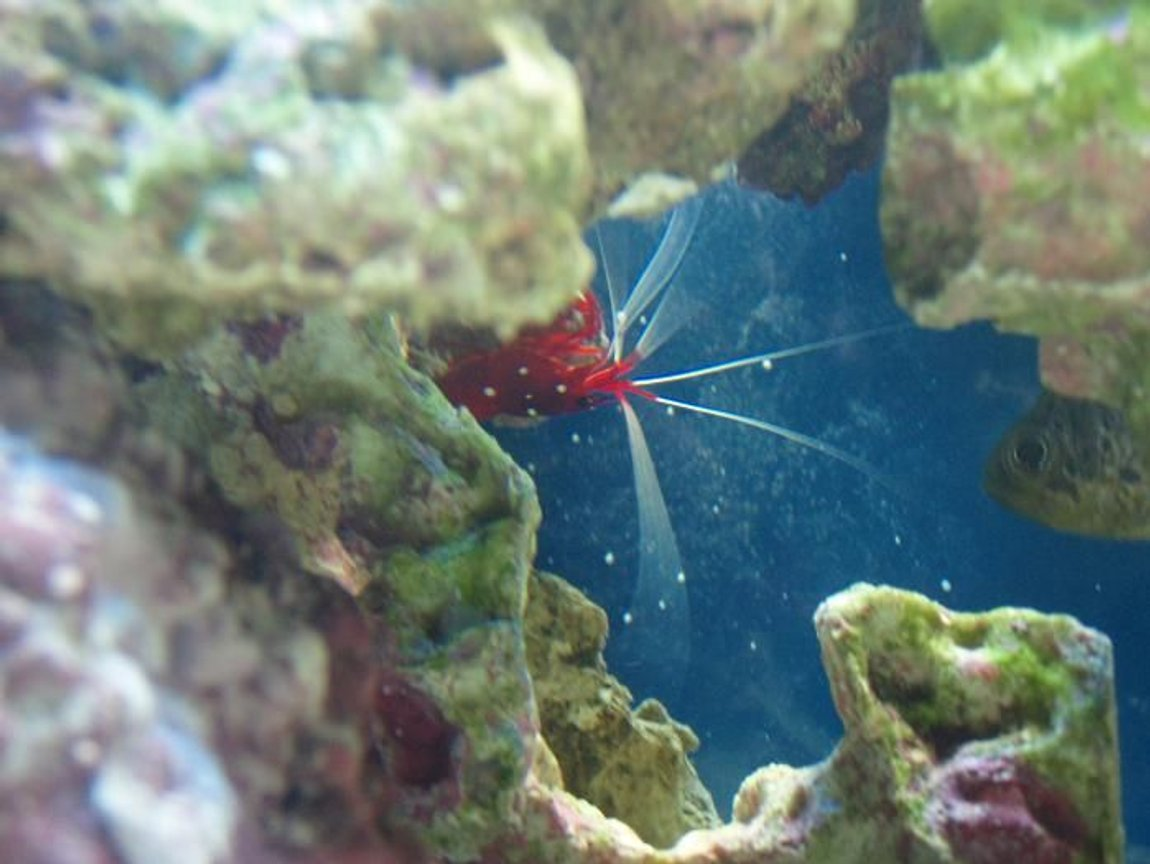 corals inverts - neocaridina denticulata sinensis - red cherry shrimp stocking in 37 gallons tank - shrimp