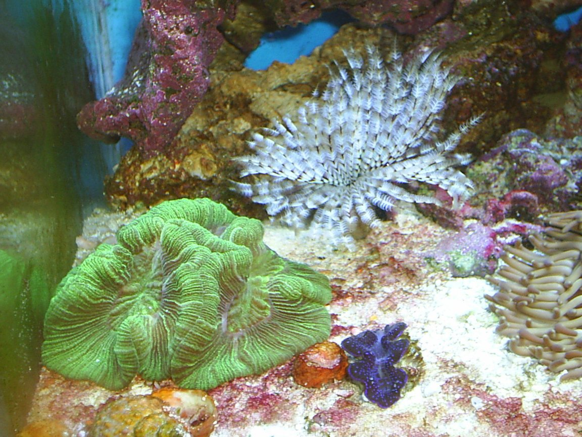 corals inverts - trachyphyllia radiata - brain coral, wellsophyllia stocking in 30 gallons tank - Brain Coral Feather Duster Blue Maxima Clam