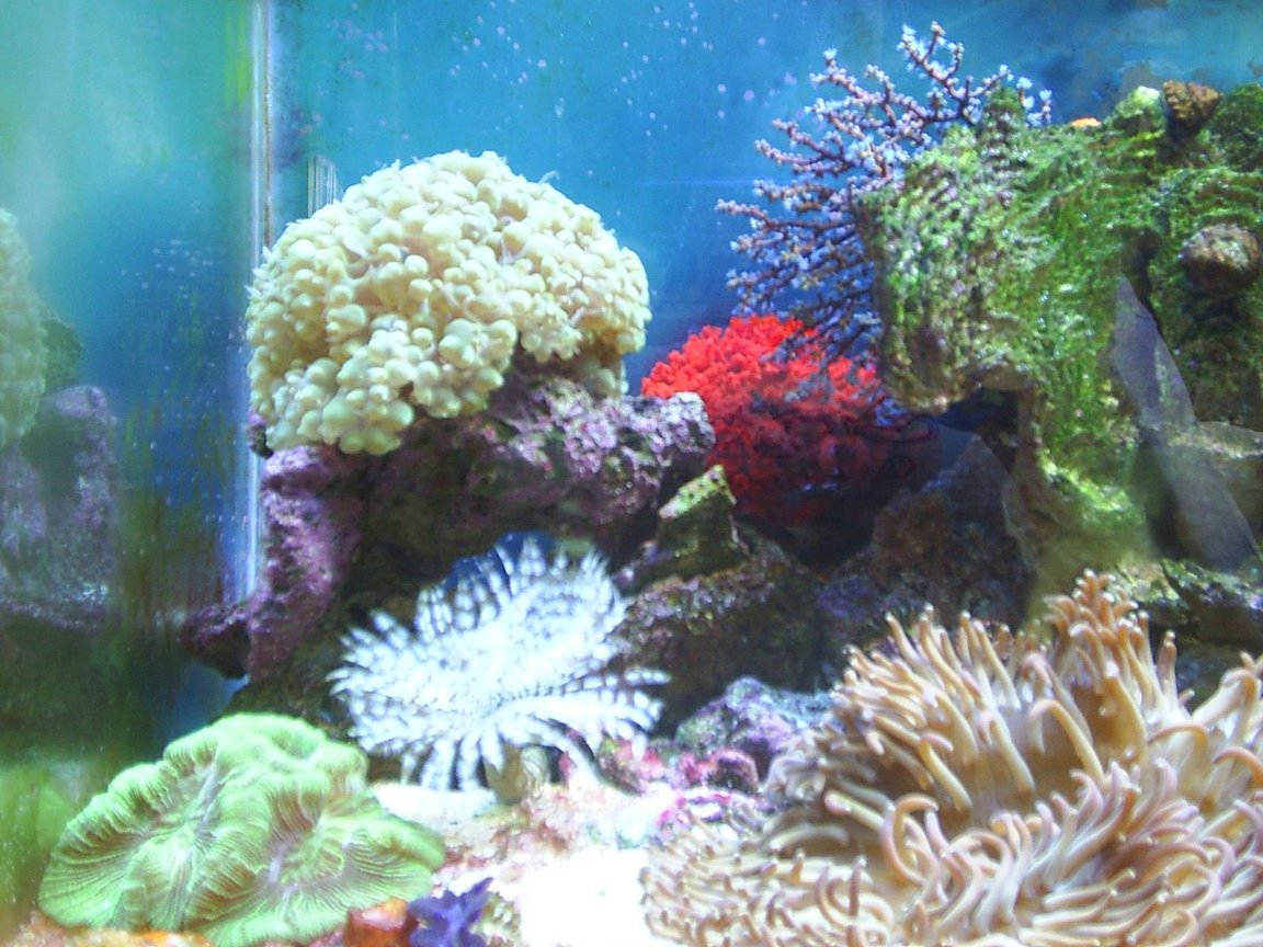 corals inverts - physogyra sp. - bubble coral, pearl stocking in 30 gallons tank - Bubble Coral Blue Berry Fan Red Sponge Feather Duster Brain Coral Long Tentacle Anemone