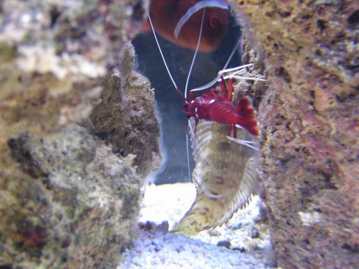 corals inverts - lysmata debelius - blood red fire shrimp stocking in 125 gallons tank - blood red cleaning blennie