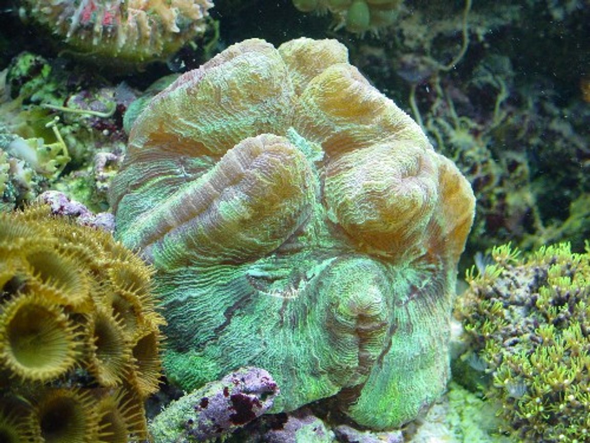 corals inverts - trachyphyllia radiata - brain coral stocking in 155 gallons tank - brain and polyps