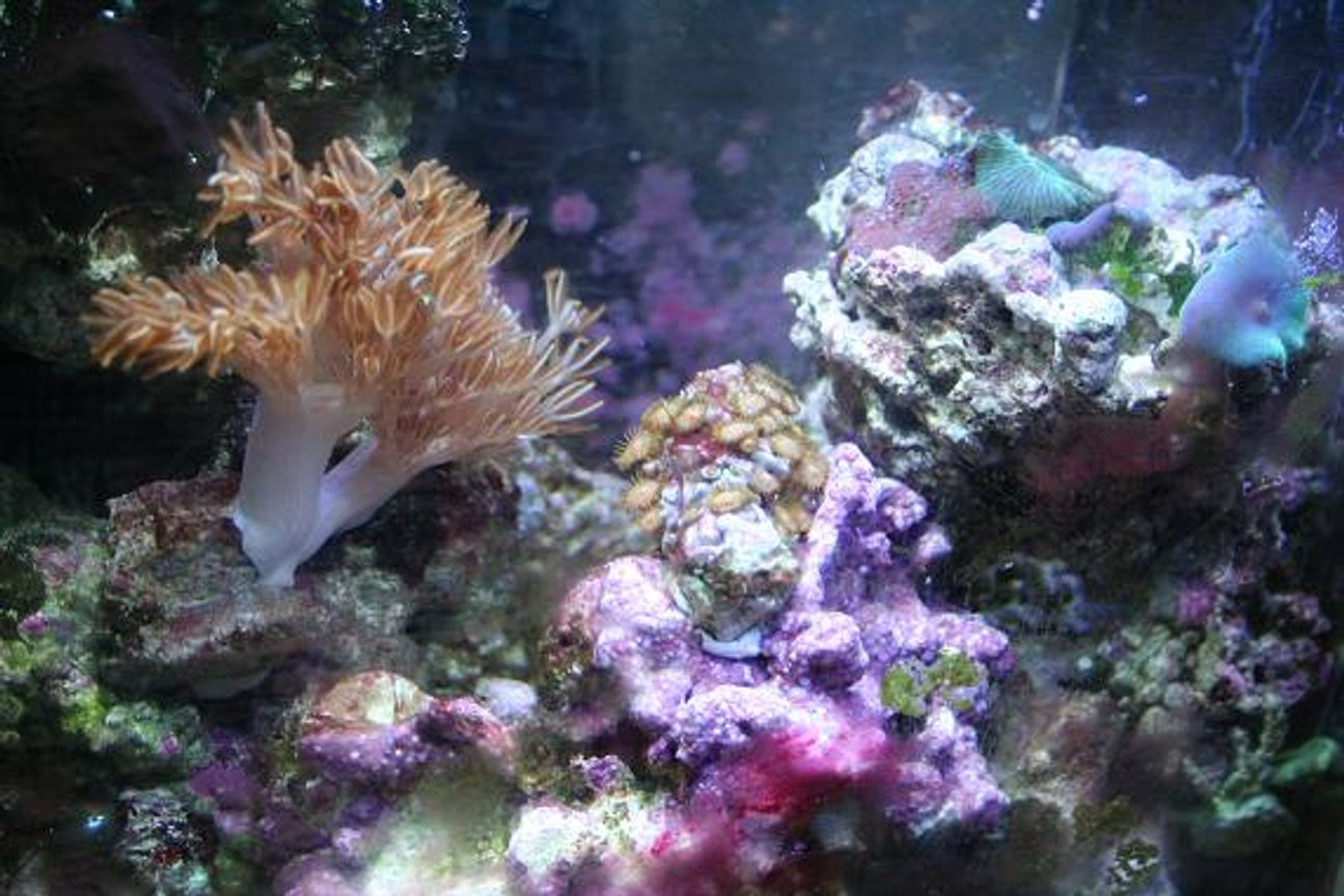 corals inverts - anthelia sp. - waving hand - blue stocking in 75 gallons tank - this is a picture of my 3 gal nano reef tank. it has been going for about 10 months. there is in this tank: 1 blue leg crab, 1 red leg, 1 electric blue crab. one emerald crab, 1 black turbo snail, 2 narcisuss snail... i cant spell, 5 random mushrooms, pulsating zenia, 1 electric flame scallop, polyp rock, peprmint shrimp, yellow clown goby, and an aboundance of algae.