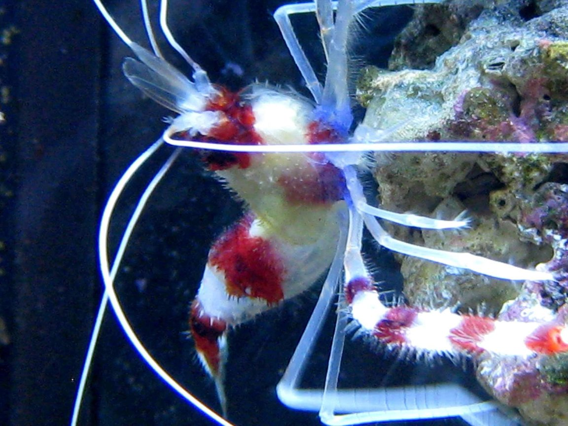 corals inverts - stenopus hispidus - banded coral shrimp stocking in 90 gallons tank - Coral Banded Shrimp