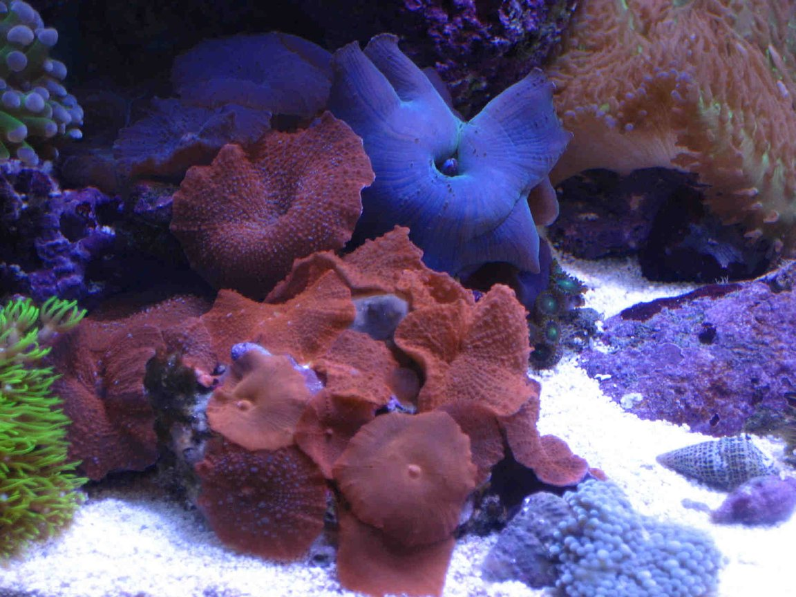 corals inverts - actinodiscus sp. - red mushroom stocking in 75 gallons tank - red and blue mushrooms
