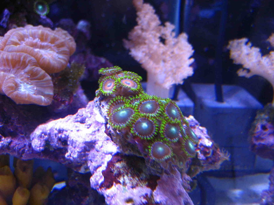 corals inverts - caulastrea furcata - candy cane coral stocking in 75 gallons tank - Zoanthids frags, candycan and colt coral in the back.
