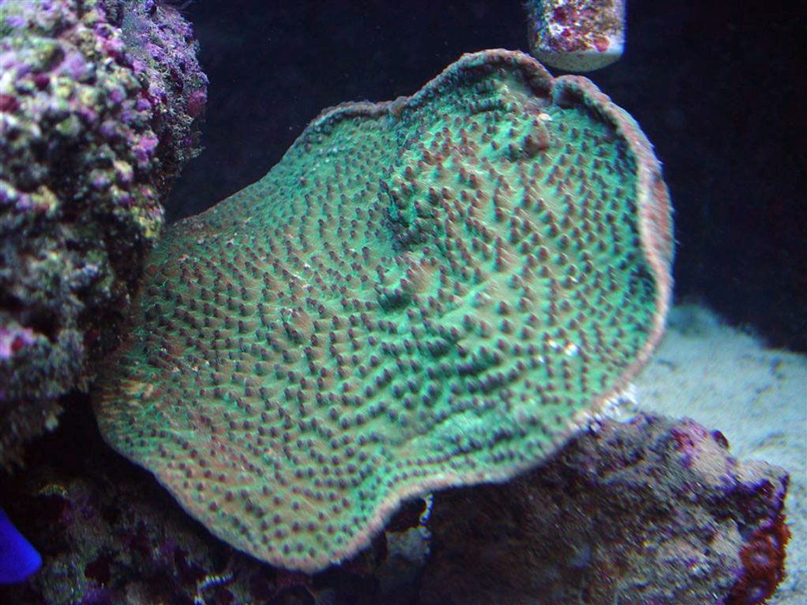 corals inverts - turbinaria peltata - cup coral, pagoda stocking in 75 gallons tank - Green Pagoda Cup