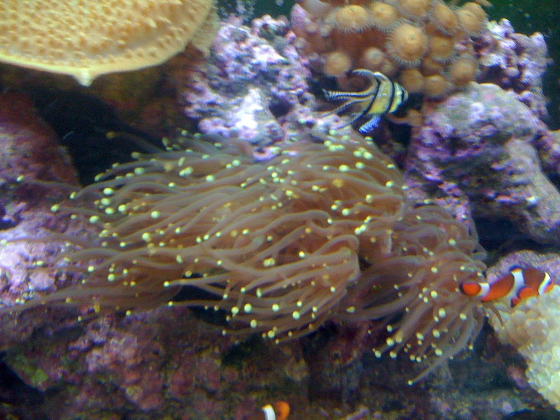 corals inverts - euphyllia glabrescens - torch coral stocking in 120 gallons tank - Torch 5 heads