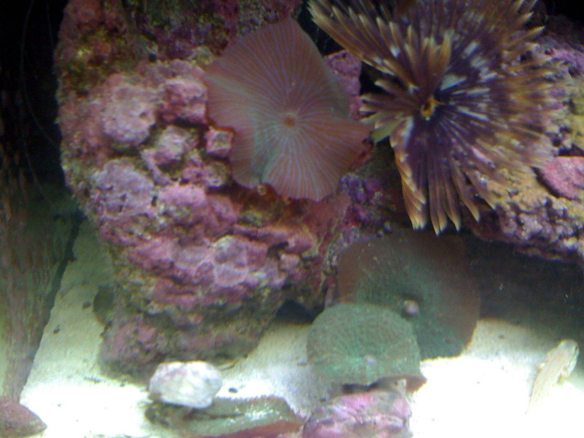 corals inverts - actinodiscus sp. - red mushroom stocking in 120 gallons tank - Mushrooms and feather duster