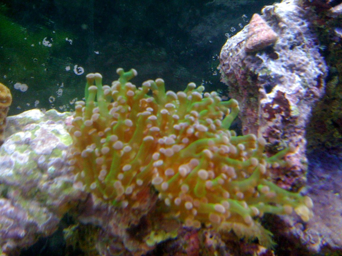 corals inverts - euphyllia paradivisa - frogspawn coral stocking in 120 gallons tank - frogspawn 2 heads and currently splitting into 4