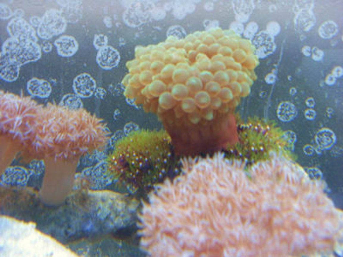 corals inverts - entacmaea quadricolor - bulb anemone stocking in 55 gallons tank - gbta on gsp's