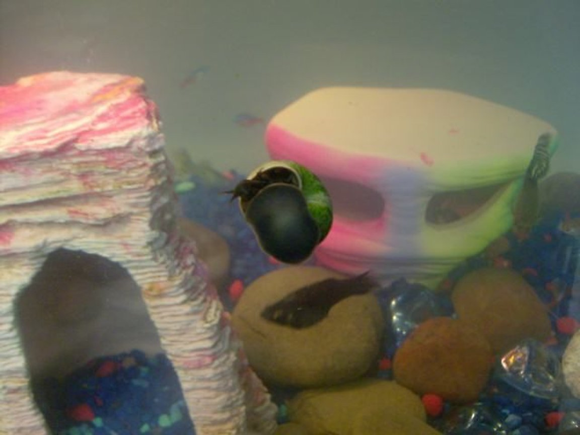 corals inverts stocking in 20 gallons tank - Our snail.. we just bought him last night [November 7, 2008]