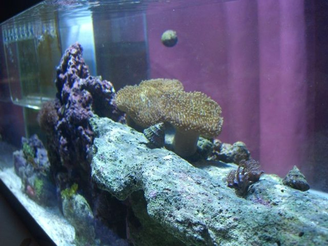corals inverts - sarcophyton sp. - toadstool mushroom leather coral stocking in 20 gallons tank - tank
