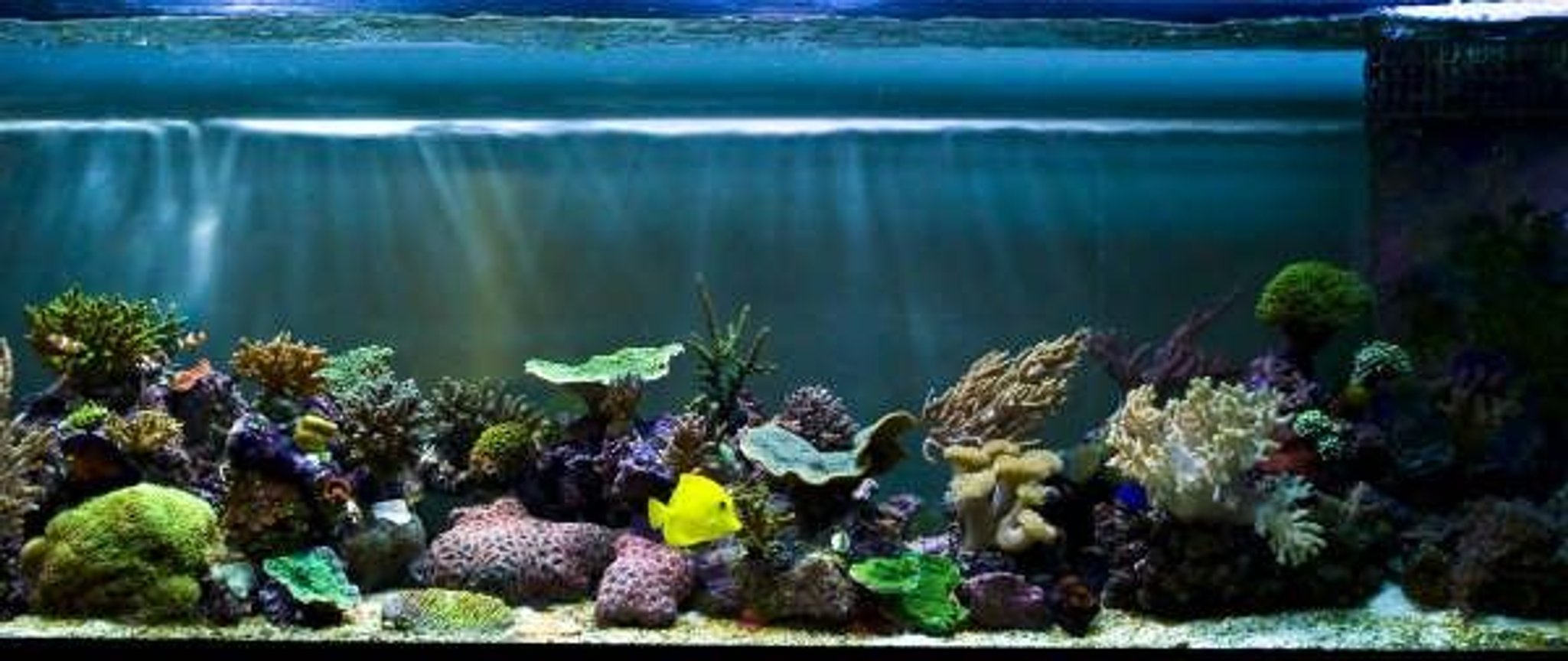 corals inverts - montipora capricornis - green apple cap coral stocking in 125 gallons tank - updated nov 17