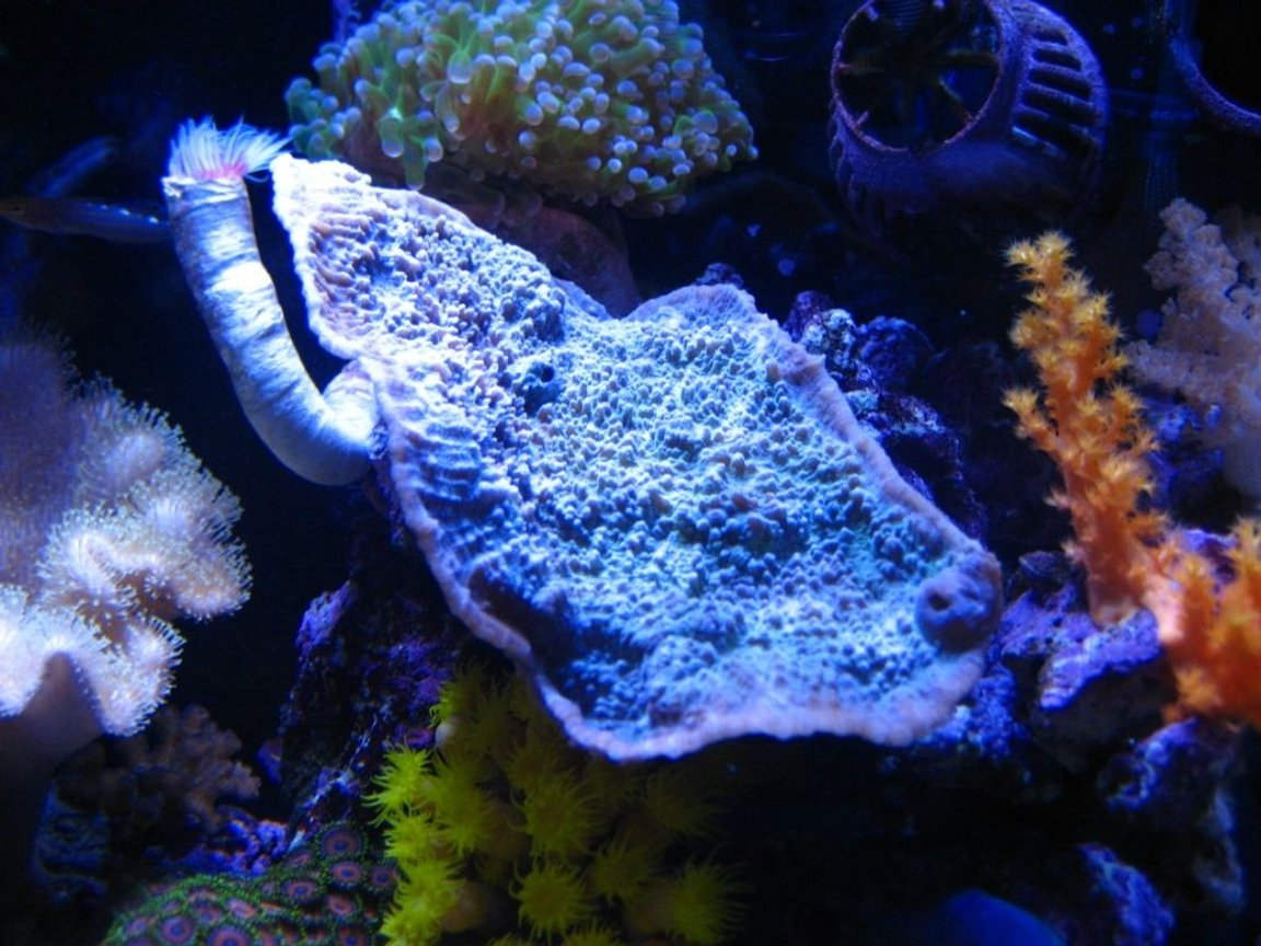 corals inverts - montipora capricornis stocking in 75 gallons tank - 10G nano