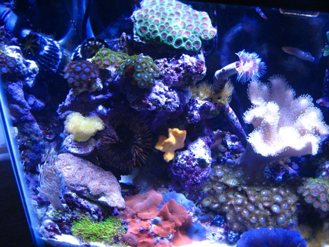 corals inverts - sarcophyton elegans - yellow fiji leather coral stocking in 75 gallons tank - 10G nano left side