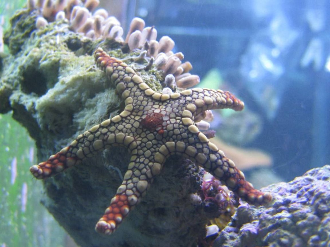 corals inverts - fromia sp. - marble sea star stocking in 125 gallons tank - Marble Sea Star, my newest addition