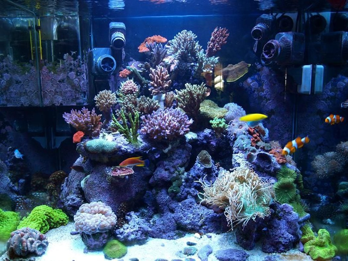 corals inverts - catalaphyllia jardinei - elegance coral stocking in 100 gallons tank - SPS Dominated Reef tank