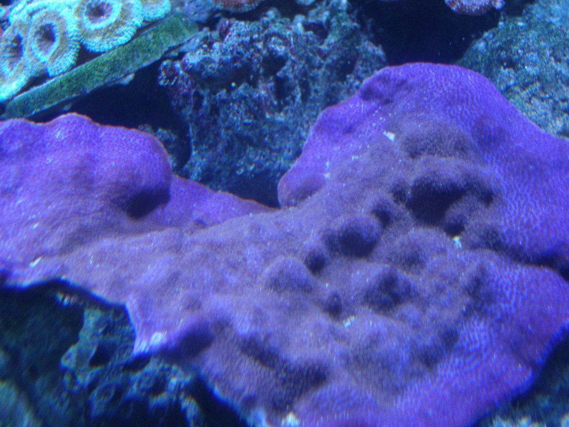 corals inverts - montipora peltiformis - purple polyp plating montipora coral stocking in 220 gallons tank - Purple Monte