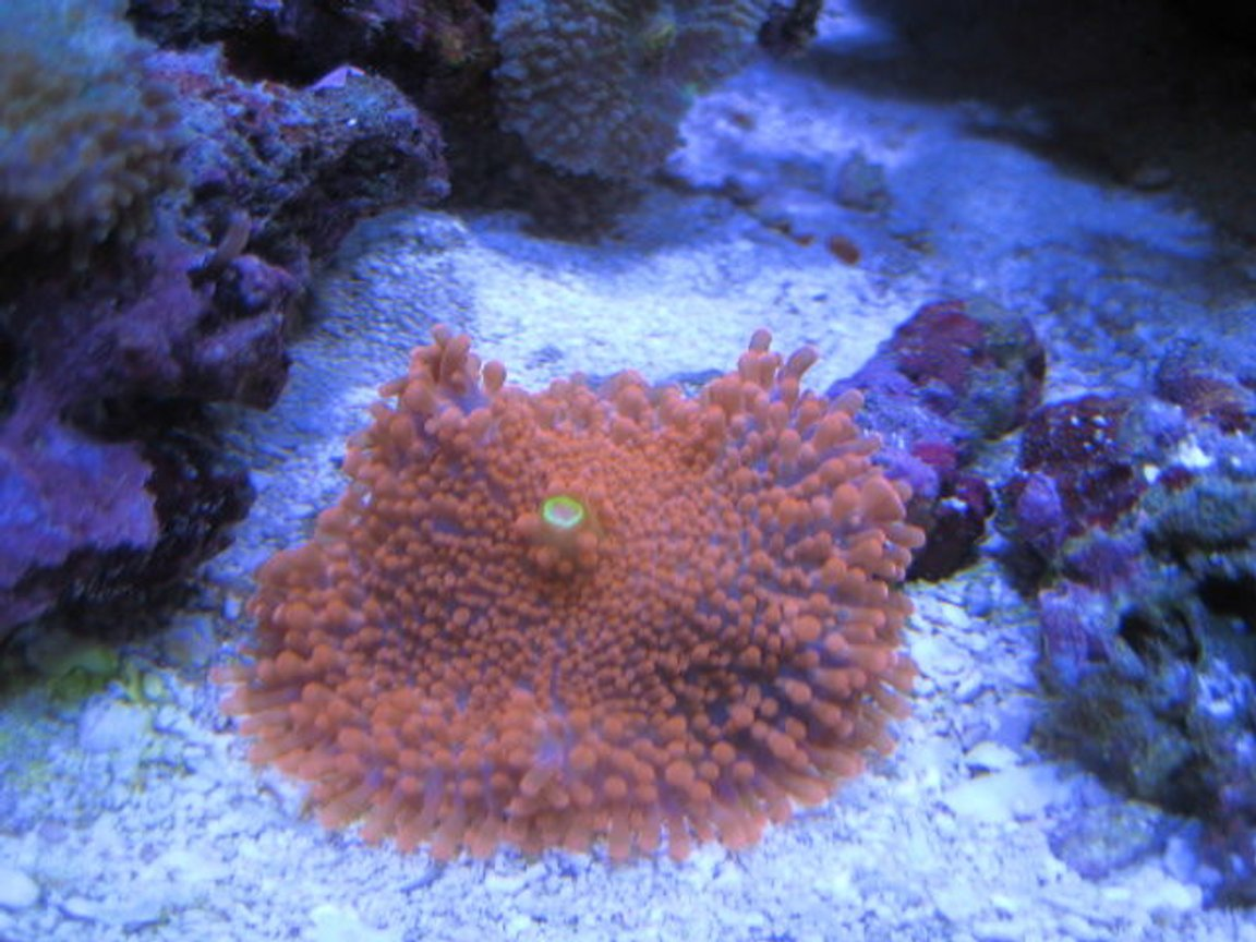 corals inverts - ricordea yuma - ricordea mushroom stocking in 46 gallons tank - More Corals