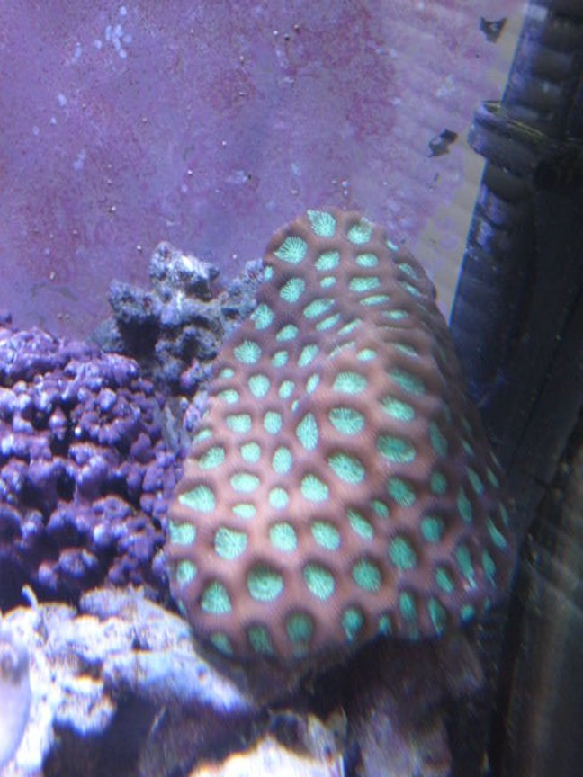 corals inverts - favites sp. - super green favia brain stocking in 46 gallons tank - Corals