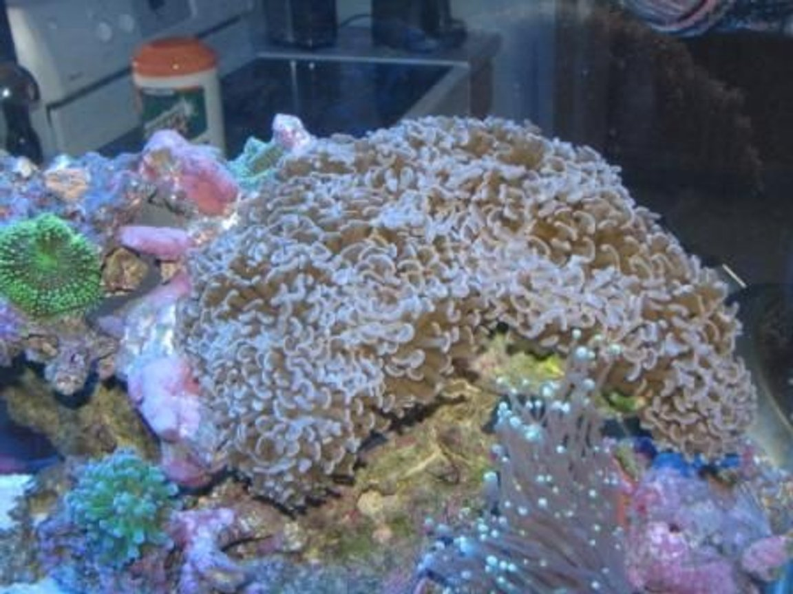 corals inverts - euphyllia ancora - hammer / anchor coral stocking in 55 gallons tank - Hammer