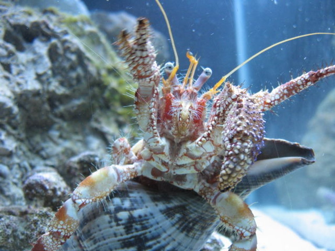 corals inverts - dardanus spp. - hermit crab with anemone stocking in 75 gallons tank - Give me some food!!!!