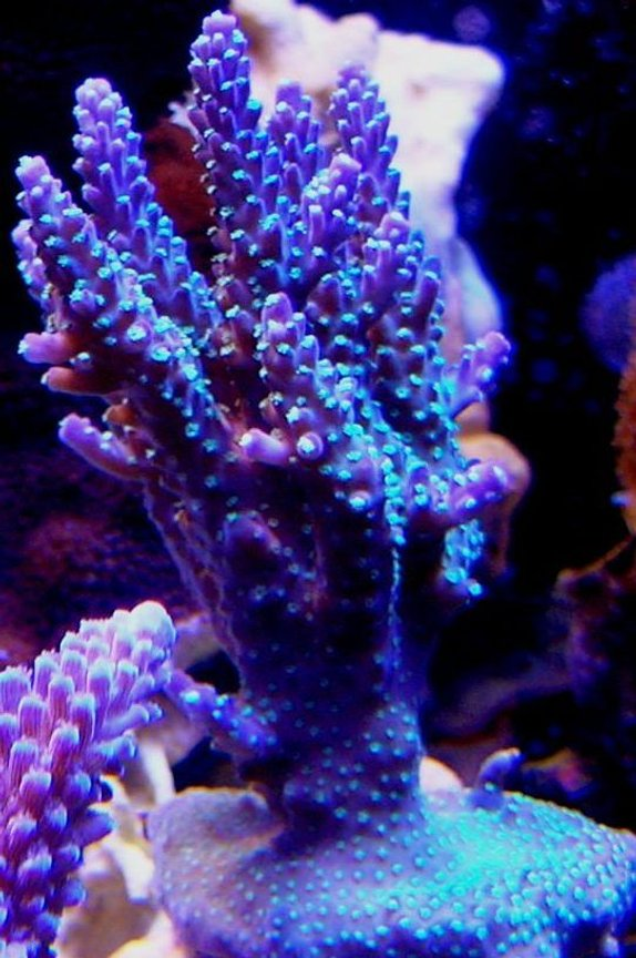 corals inverts - acropora sp. - acropora coral stocking in 120 gallons tank - Garf purple bonsai