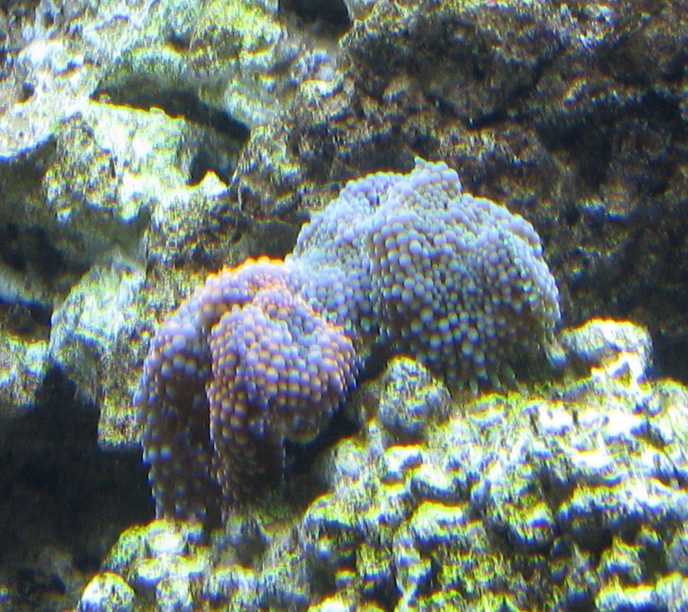 corals inverts - ricordea florida - ricordea mushroom, blue/green (caribbean) stocking in 500 gallons tank - Blue, Green & Orange Ricordia