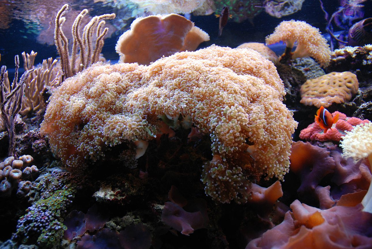 corals inverts - euphyllia paradivisa - frogspawn coral - branched stocking in 125 gallons tank - Frogspawn coral
