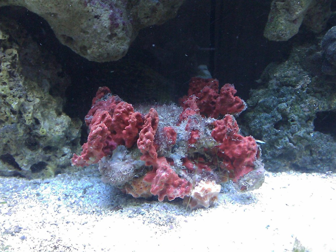 corals inverts - spondylus - spiny oyster stocking in 55 gallons tank - Spiney Oyster