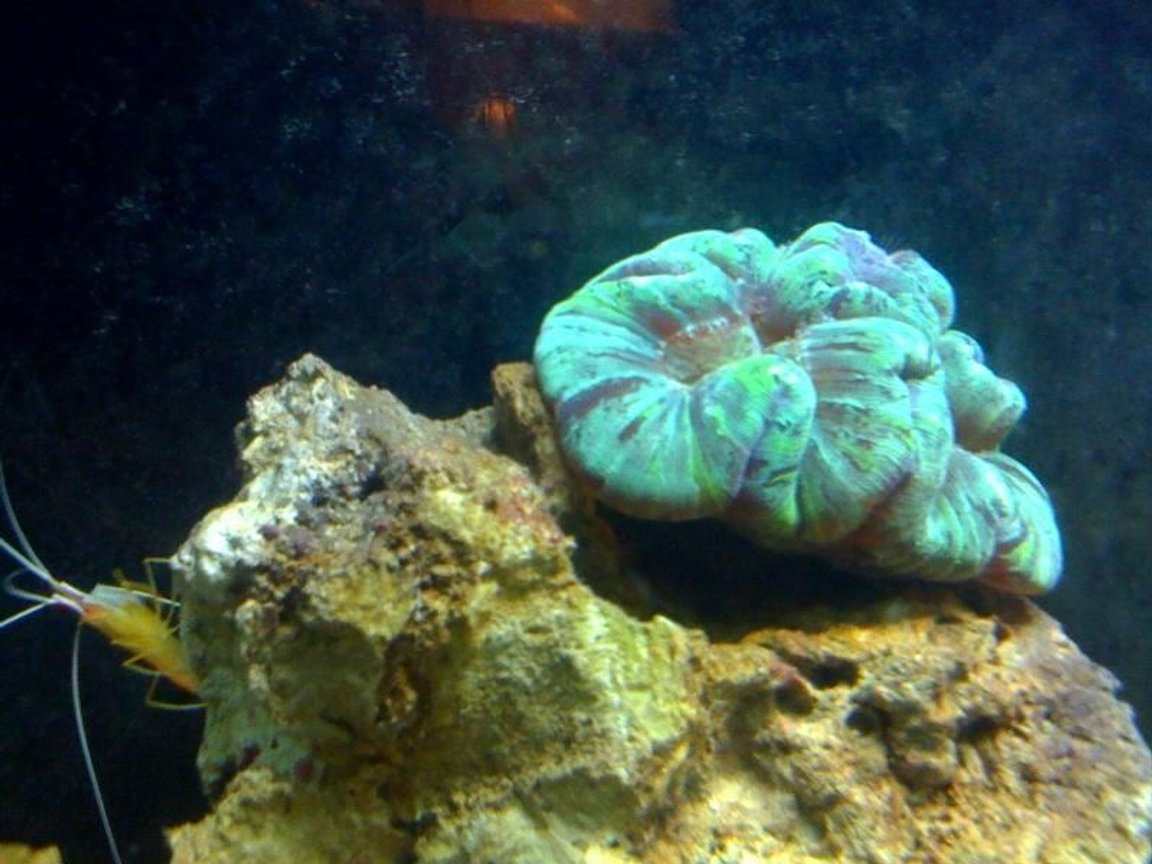 corals inverts - trachyphyllia radiata - brain coral, wellsophyllia stocking in 55 gallons tank - OPEN BRAIN CORAL AND SHRIMP