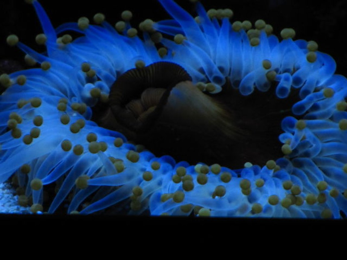 corals inverts - epicystis crucifer - rock flower anemone stocking in 210 gallons tank - Anemone