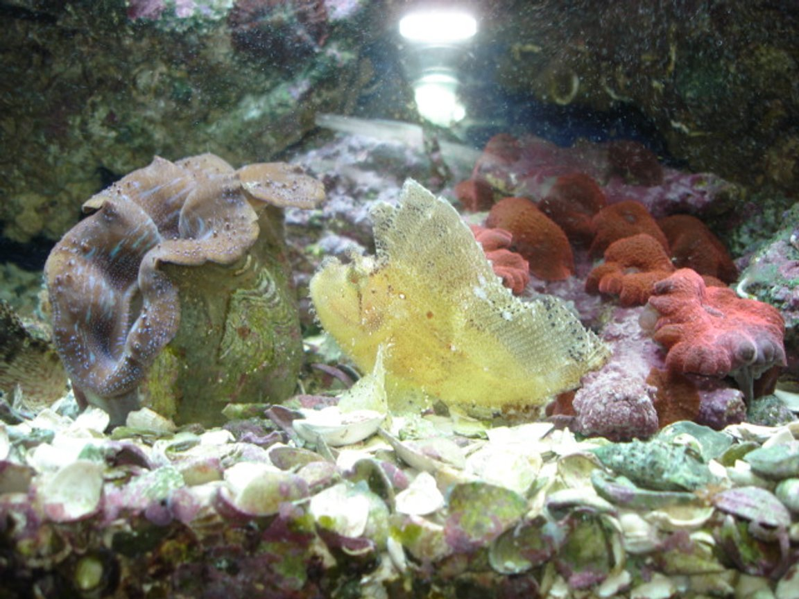corals inverts - tridacna crocea - crocea clam stocking in 55 gallons tank - scorpian fish with a clam