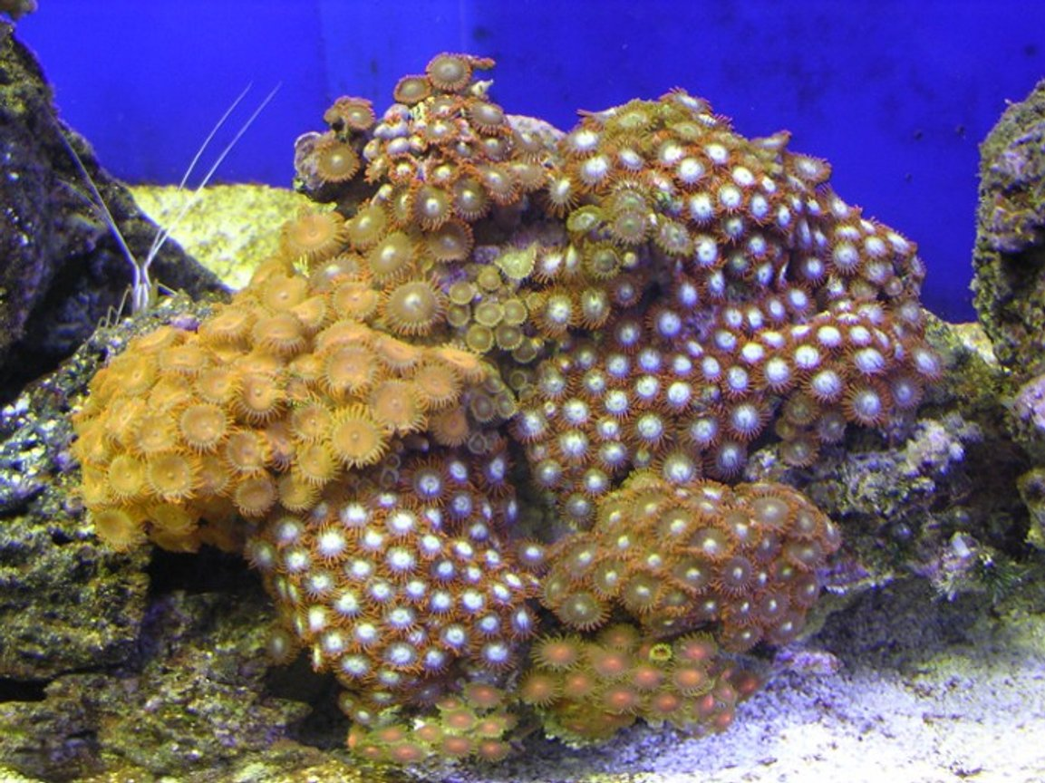 corals inverts - zoanthus sp. - green polyps stocking in 100 gallons tank - misc zoos 1.5 years old