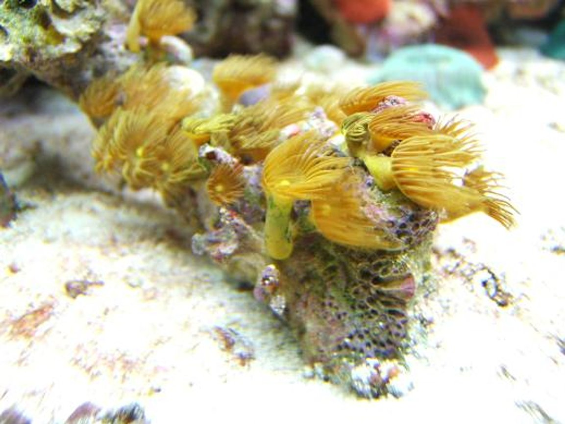 corals inverts - zoanthus sp. - yellow polyps stocking in 65 gallons tank - Yellow Polypes