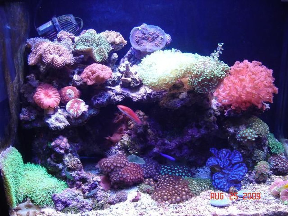 corals inverts - zoanthus sp. - colony polyp stocking in 30 gallons tank - 30 gal small reef