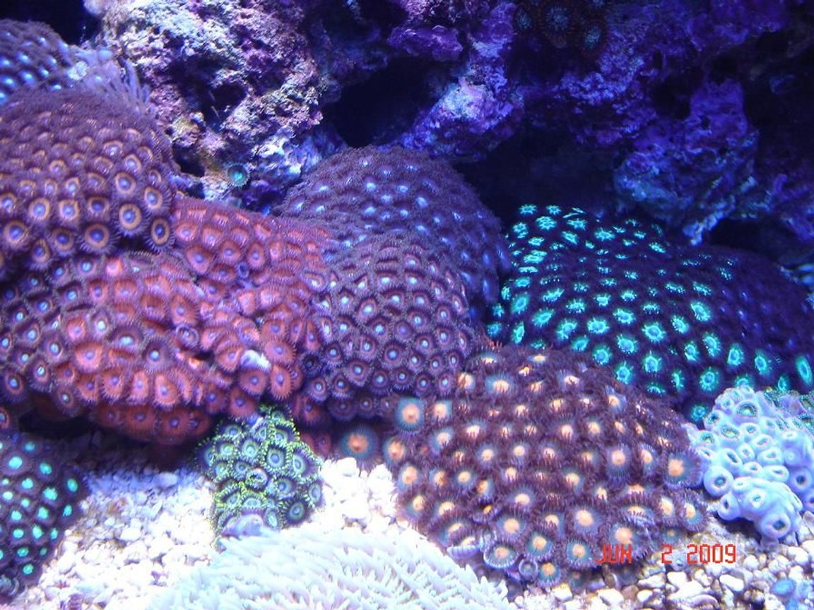 corals inverts - zoanthus sp. - colony polyp stocking in 30 gallons tank - Zoanthus