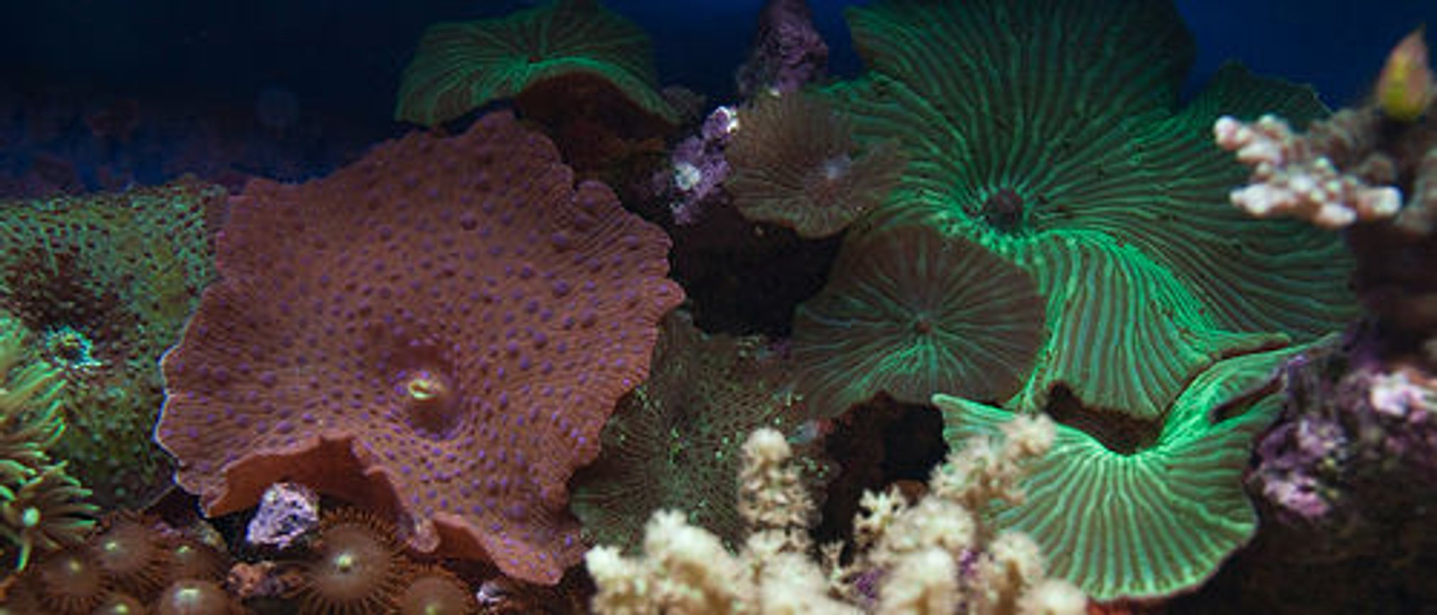 corals inverts - actinodiscus sp. - green striped mushroom stocking in 37 gallons tank - mushrooms